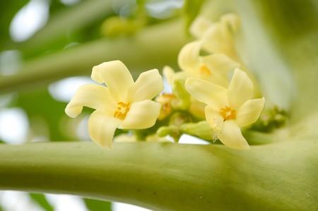 papaya flower: papaya flower in garden