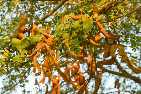 indica: green tamarind tree in garden (Tamarindus indica tree) Stock Photo