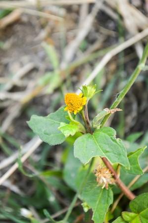 dolor de muela: planta de dolor de muelas en el jardín