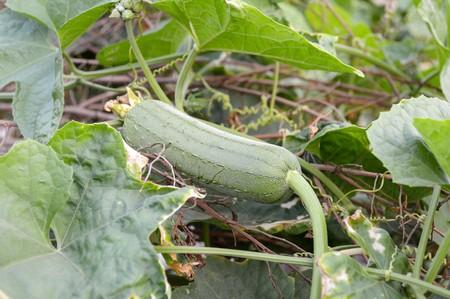 cylindrica: flower Gourd in garden (Luffa cylindrica)