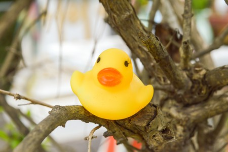 yellowrn: yellow plastic duck doll on branch tree Stock Photo