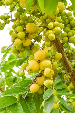 star gooseberry in garden