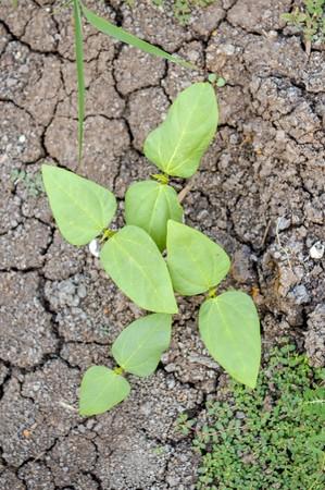 long bean: young Yard Long bean tree in garden Stock Photo