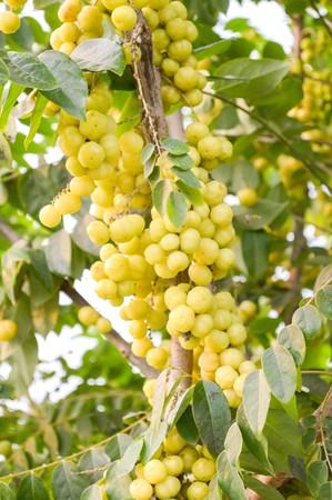 gooseberry: grosella estrella en el jard�n Foto de archivo