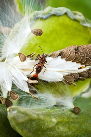 arthropod: Red Cotton Bug Dysdercus cingulatus on green leaves Stock Photo