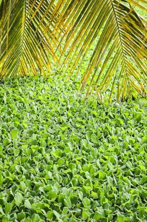duckweed: green duckweed in water