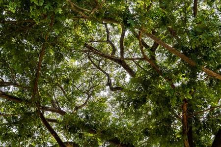 samanea saman: Rain tree in garden Stock Photo