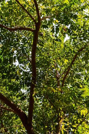 neem: Neem plan tree in garden (Azadirachta indica)