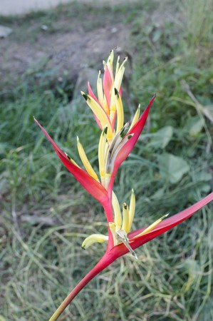 red Heliconia flower in garden