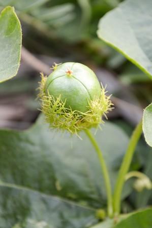 stinking: green Fetid passionflower in garden (Passiflora foetida)