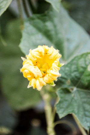 cylindrica: Sponge Gourd flower in garden (Luffa cylindrica)
