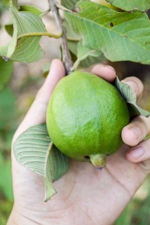green Guava on man hand photo