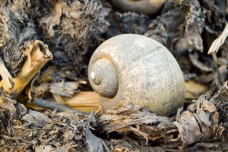 channeled: Channeled applesnail on the ground