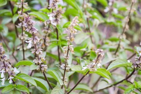 thai basil: Thai Basil tree in garden (Ocimum basilicum Linn)