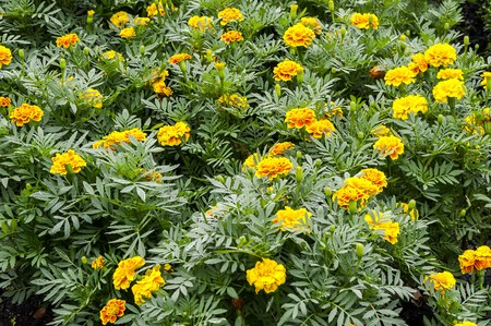 garden marigold: yellow Marigold flower in garden Stock Photo
