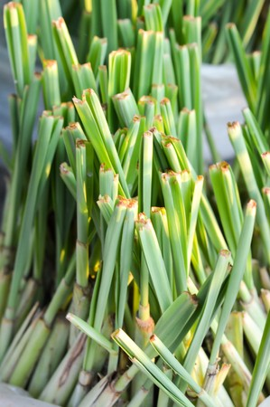 Lemon grass (Cymbopogon citratus)