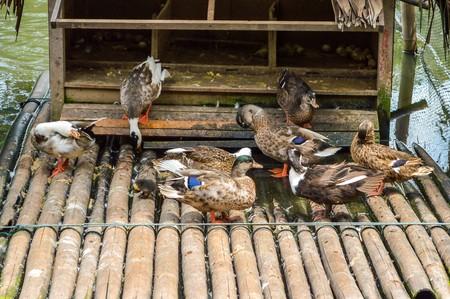 cock duck: Duck Farm in Thailand