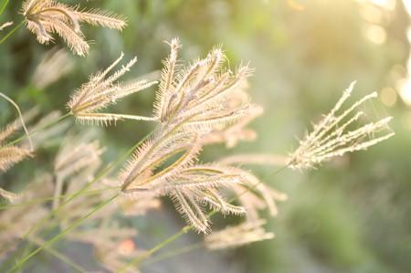 Swollen: Swollen finger grass (Chloris barbata Sw.)