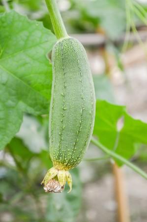 cylindrica: green Sponge Gourd in garden (Luffa cylindrica)
