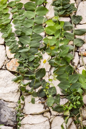 ivy wall: green ivy leaves on stone wall in garden