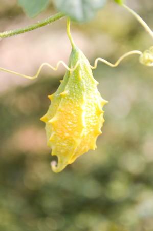 orange bitter cucumber in garden 版權商用圖片