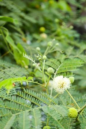 acacia tree in garden (Acacia auriculiformis Cunn) Stock Photo