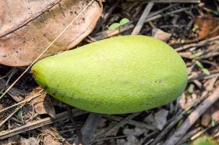 green mango on the ground