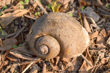 channeled: Channeled applesnail on the ground (Pomacea canaliculata)