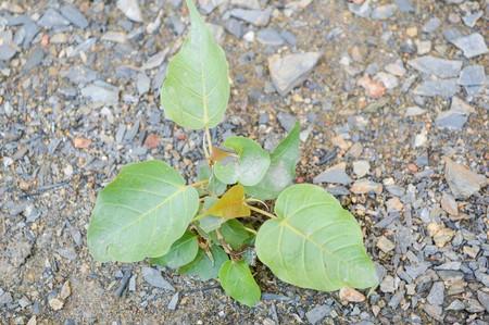 religiosa: Ficus religiosa tree in garden Stock Photo