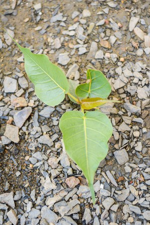 ficus: Ficus religiosa tree in garden Stock Photo