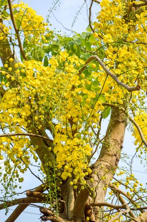 cassia: Golden shower flower in garden (Cassia fistula)
