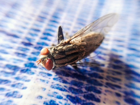 eye: Tiny fly insect
