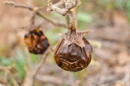 dry eggplant in garden Reklamní fotografie