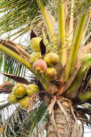 cocos: coconut tree in garden (Cocos nucifera)