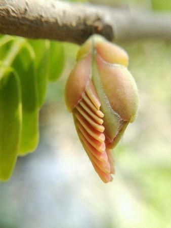 tamarindo: Flor del tamarindo