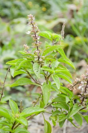 linn: green Thai Basil tree in garden Ocimum basilicum Linn