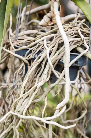 orchid tree: ra�ces del �rbol en el jard�n de orqu�deas