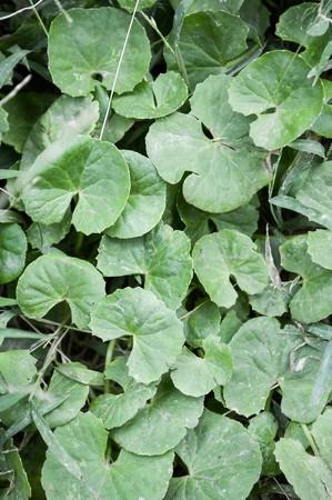 asiatica: Centella asiatica in garden