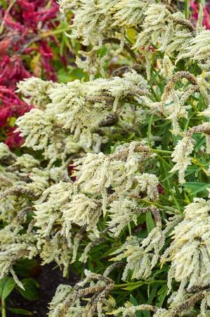celosia: Celosia flower in garden