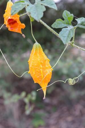 orange bitter cucumber in garden 免版税图像