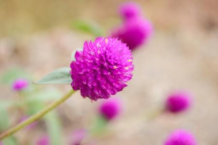 amaranth: Globe Amaranth flower in garden Stock Photo