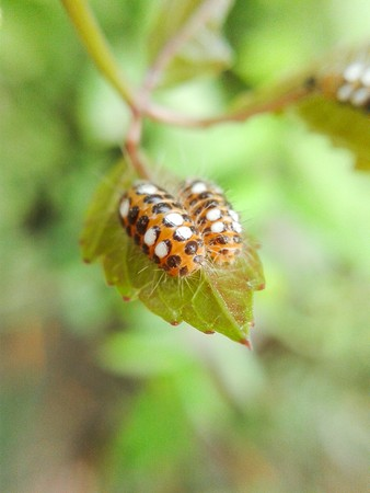 larva on green leaves Stock Photo