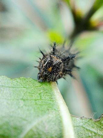 tiny: Tiny black worm - macro