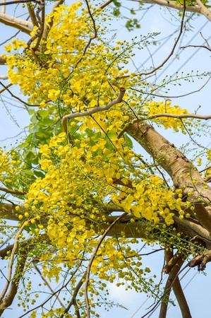 golden shower: Golden shower flower in garden Cassia fistula