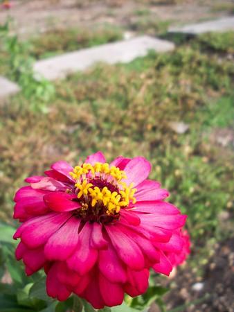 cav: Zinnia flower in garden Zinnia violacea Cav.