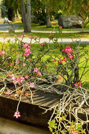 pink Adenium obesum flower in garden photo