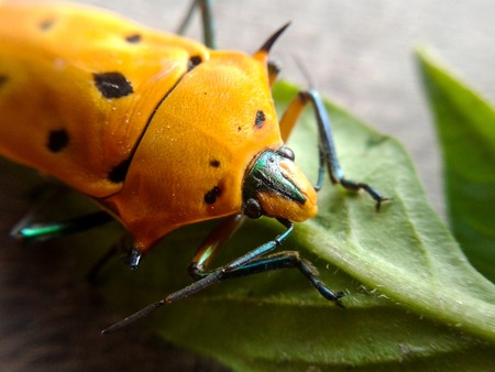 green shield bug: yellow insect on green leaves