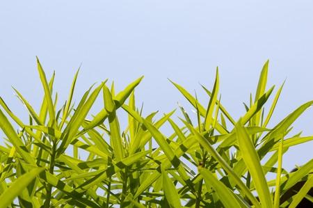 green oleander leaves on blue sky