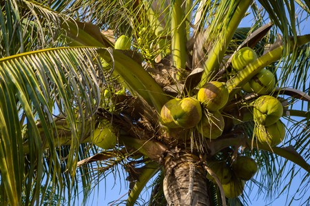 nucifera: coconut tree in garden Cocos nucifera Stock Photo