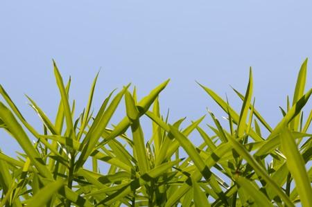 oleander: green oleander leaves on blue sky